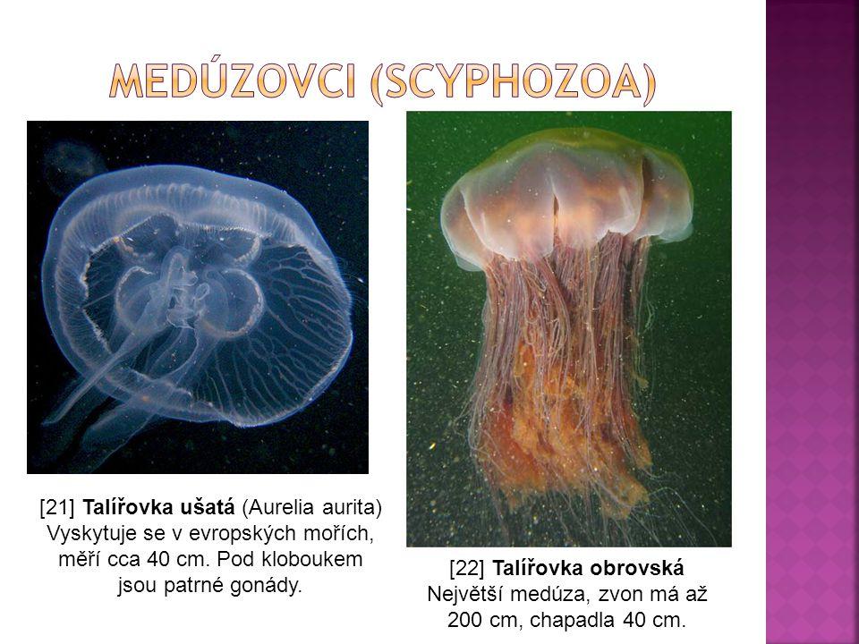 [21] Talířovka ušatá (Aurelia aurita) Vyskytuje se v evropských mořích, měří cca 40 cm. Pod kloboukem jsou patrné gonády. [22] Talířovka obrovská Nejv