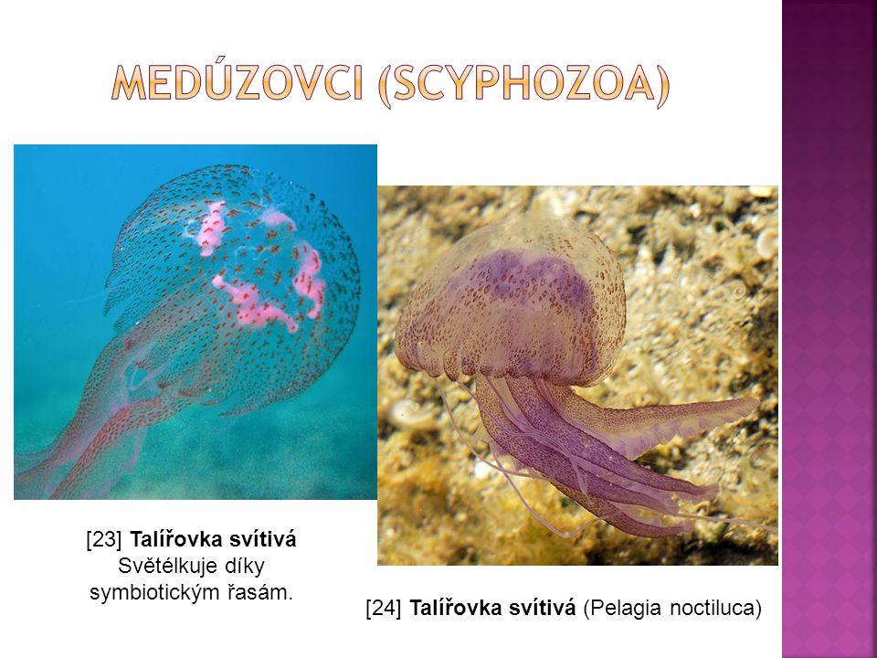 [23] Talířovka svítivá Světélkuje díky symbiotickým řasám. [24] Talířovka svítivá (Pelagia noctiluca)