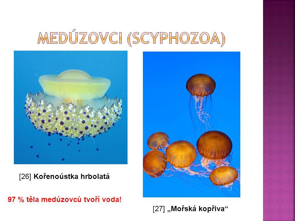 """[26] Kořenoústka hrbolatá [27] """"Mořská kopřiva"""" 97 % těla medúzovců tvoří voda!"""
