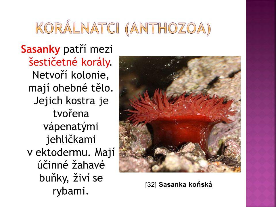 Sasanky patří mezi šestičetné korály. Netvoří kolonie, mají ohebné tělo. Jejich kostra je tvořena vápenatými jehličkami v ektodermu. Mají účinné žahav