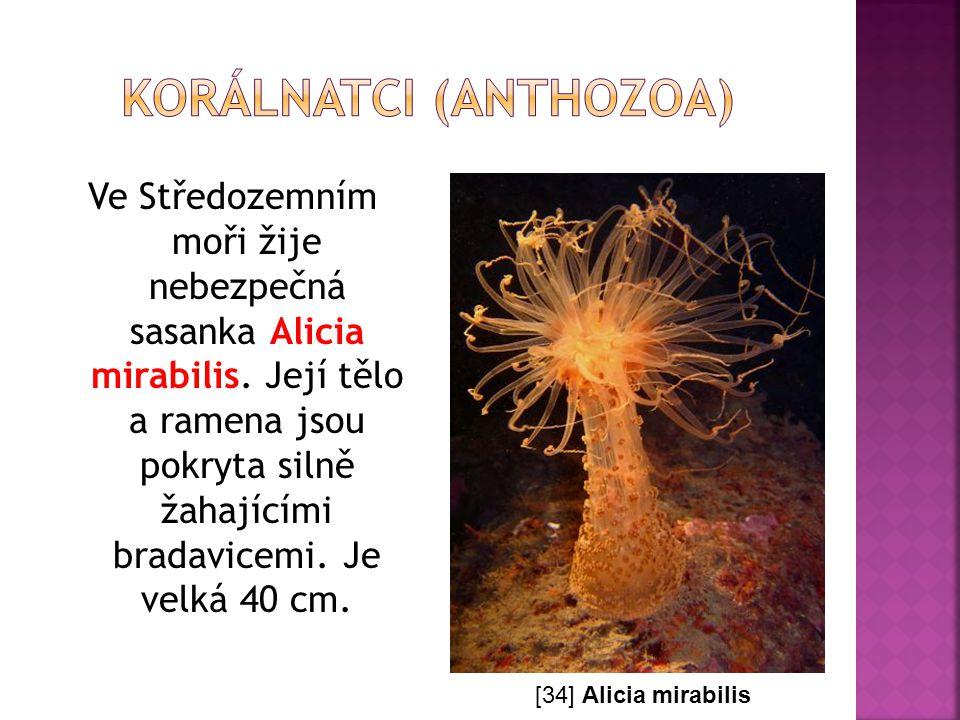 Ve Středozemním moři žije nebezpečná sasanka Alicia mirabilis. Její tělo a ramena jsou pokryta silně žahajícími bradavicemi. Je velká 40 cm. [34] Alic