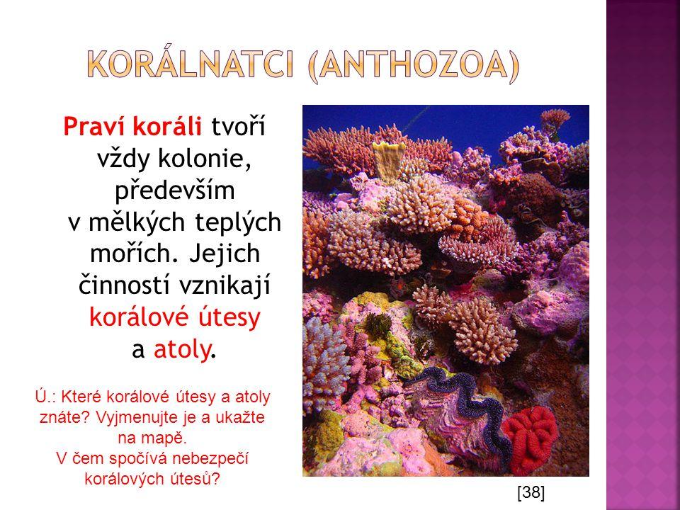 Praví koráli tvoří vždy kolonie, především v mělkých teplých mořích. Jejich činností vznikají korálové útesy a atoly. [38] Ú.: Které korálové útesy a