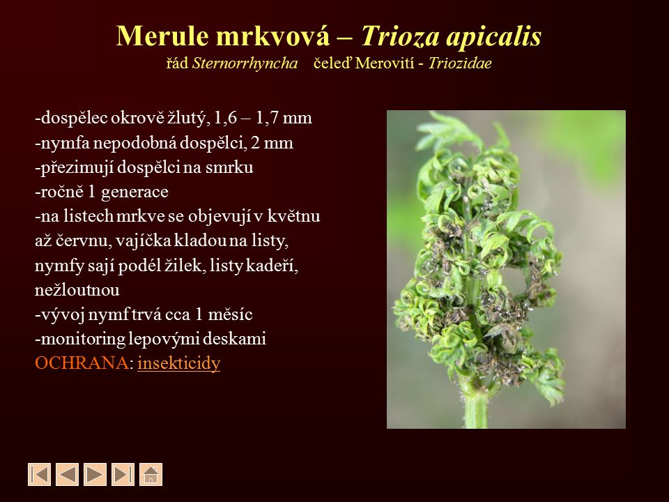 Mšice hlohová – Dysaphis crataegi řád Sternorrhyncha čeleď Mšicovití - Aphididae -bezkřídlé živorodé samičky šedozelené, -okřídlené živorodé černé -dicyklickádicyklická -přezimují vajíčka u pupenů na hlohu, zde sají, na listech červené puchýře -od konce května přelétají na mrkev -sají na bázi listů a na kořenech -listy se deformují -napadá mrkev, petržel, celer, kopr OCHRANA: insekticidy příznaky sání na hlohu kolonie mšic na kořeni kopru