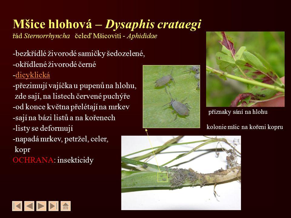 Mšice hlohová – Dysaphis crataegi řád Sternorrhyncha čeleď Mšicovití - Aphididae -bezkřídlé živorodé samičky šedozelené, -okřídlené živorodé černé -di