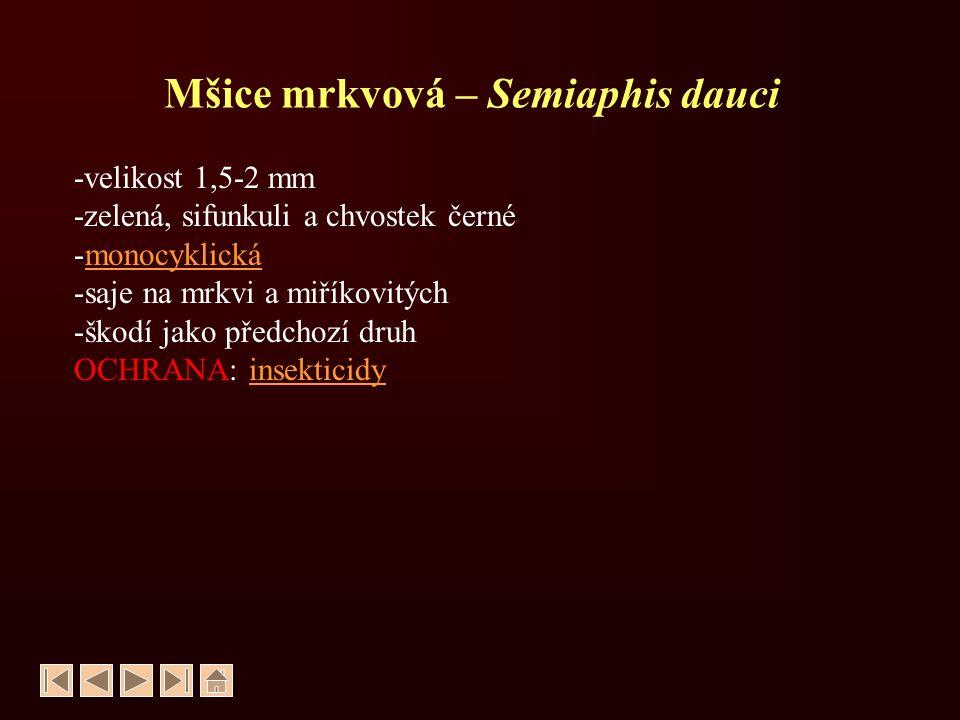Mšice mrkvová – Semiaphis dauci -velikost 1,5-2 mm -zelená, sifunkuli a chvostek černé -monocyklickámonocyklická -saje na mrkvi a miříkovitých -škodí