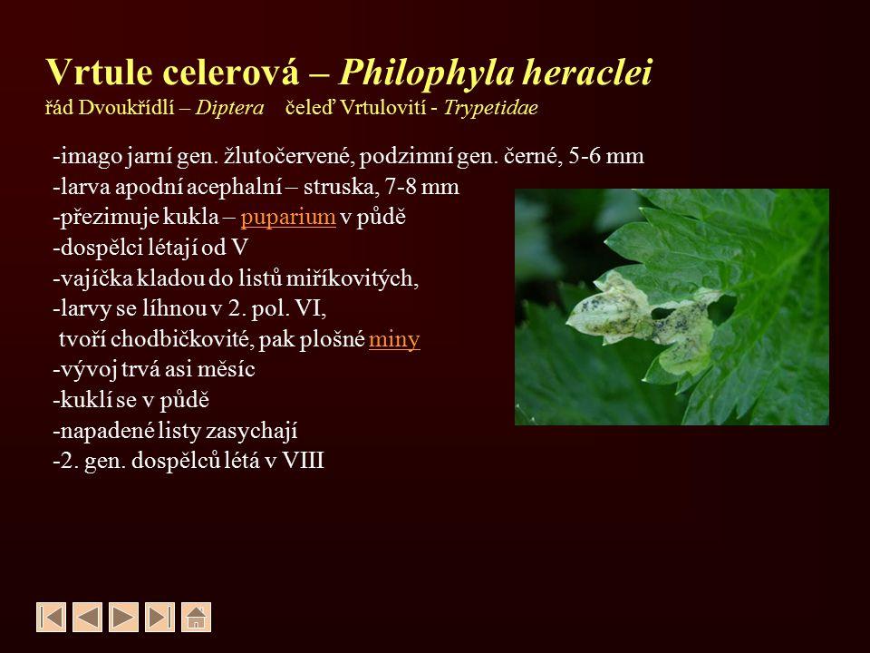 Pochmurnatka mrkvová – Psila rosae řád Dvoukřídlí – Diptera čeleď Pochmurnatkovití - Psilidae -velikost 4-5 mm -imago leskle černé -larva apodní acephalní, 7-8 mmapodní acephalní -přezimuje kukla –puparium v půděpuparium -dospělci se objevují v 2.