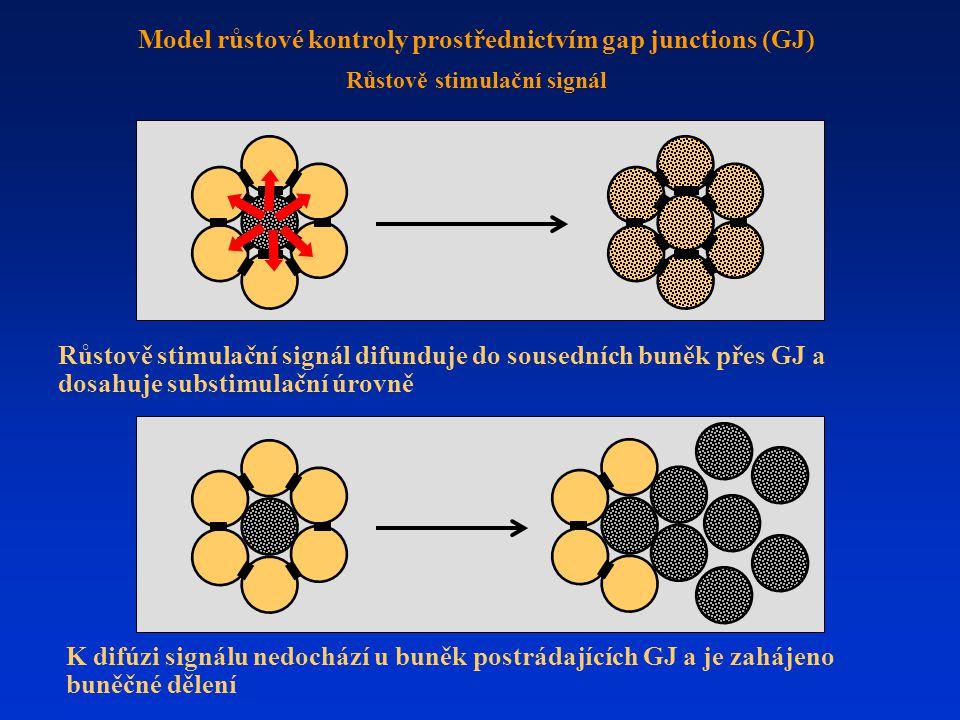 Růstově stimulační signál difunduje do sousedních buněk přes GJ a dosahuje substimulační úrovně K difúzi signálu nedochází u buněk postrádajících GJ a je zahájeno buněčné dělení Model růstové kontroly prostřednictvím gap junctions (GJ) Růstově stimulační signál