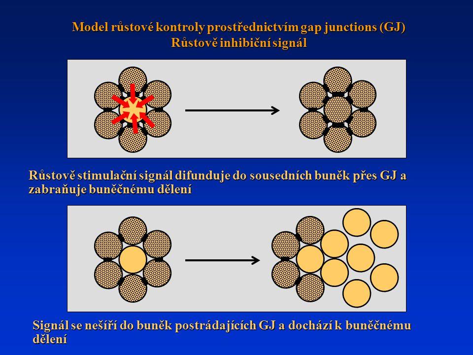 Růstově stimulační signál difunduje do sousedních buněk přes GJ a zabraňuje buněčnému dělení Signál se nešíří do buněk postrádajících GJ a dochází k buněčnému dělení Model růstové kontroly prostřednictvím gap junctions (GJ) Růstově inhibiční signál