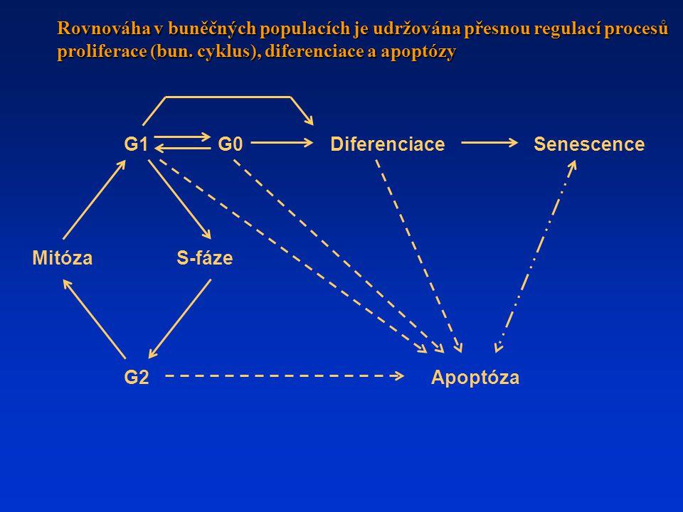 MitózaS-fáze Apoptóza G0G1 G2 DiferenciaceSenescence Rovnováha v buněčných populacích je udržována přesnou regulací procesů proliferace (bun.