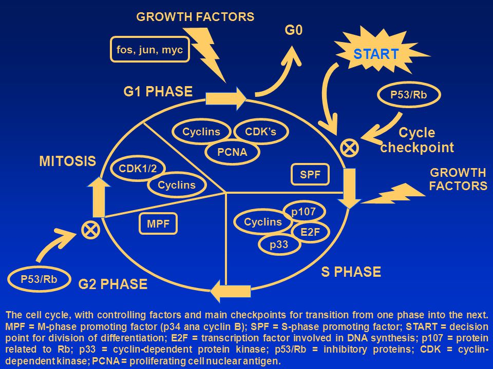 GROWTH FACTORS The cell cycle, with controlling factors and main checkpoints for transition from one phase into the next.
