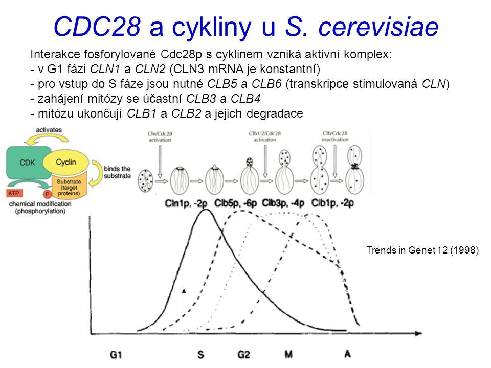 CDC28 a cykliny u S. cerevisiae Interakce fosforylované Cdc28p s cyklinem vzniká aktivní komplex: - v G1 fázi CLN1 a CLN2 (CLN3 mRNA je konstantní) -
