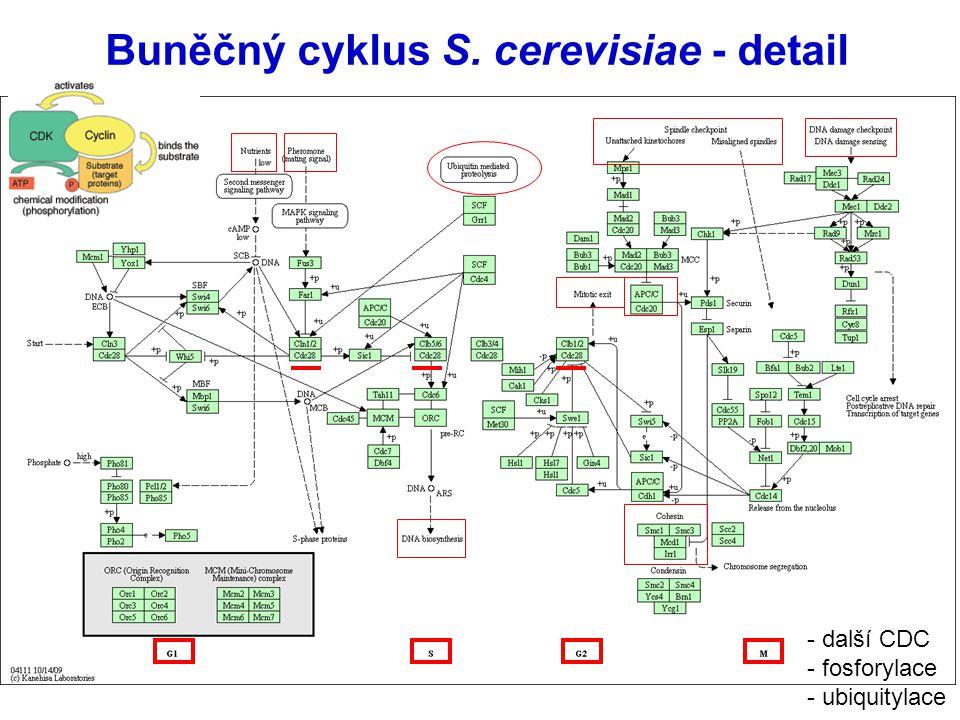 Buněčný cyklus S. cerevisiae - detail - další CDC - fosforylace - ubiquitylace