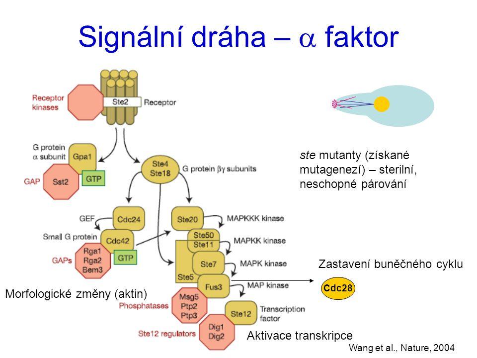 Signální dráha –  faktor Wang et al., Nature, 2004 Cdc28 Zastavení buněčného cyklu Aktivace transkripce Morfologické změny (aktin) ste mutanty (získané mutagenezí) – sterilní, neschopné párování