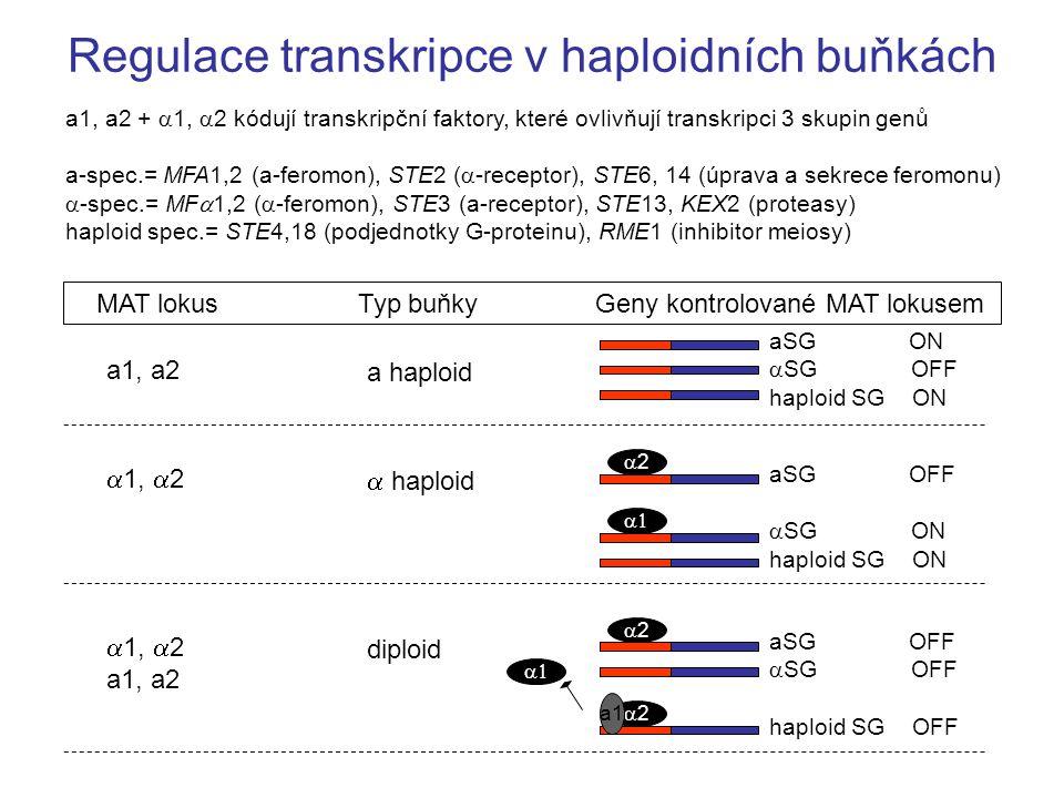 Regulace transkripce v haploidních buňkách a1, a2 +  1,  2 kódují transkripční faktory, které ovlivňují transkripci 3 skupin genů a-spec.= MFA1,2 (a-feromon), STE2 (  -receptor), STE6, 14 (úprava a sekrece feromonu)  -spec.= MF  1,2 (  -feromon), STE3 (a-receptor), STE13, KEX2 (proteasy) haploid spec.= STE4,18 (podjednotky G-proteinu), RME1 (inhibitor meiosy) aSG ON  SG OFF haploid SG ON MAT lokusTyp buňkyGeny kontrolované MAT lokusem a haploid a1, a2  haploid  1,  2 aSG OFF  SG ON haploid SG ON 22  diploid  1,  2 a1, a2 aSG OFF  SG OFF haploid SG OFF 22  22 a1