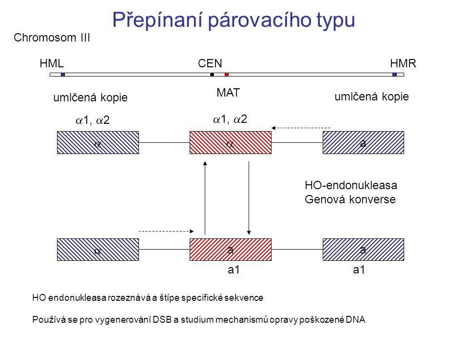 Přepínaní párovacího typu HML HMR MAT CEN  a  a  a  1,  2 a1 Chromosom III HO-endonukleasa Genová konverse HO endonukleasa rozeznává a štípe specifické sekvence Používá se pro vygenerování DSB a studium mechanismů opravy poškozené DNA umlčená kopie