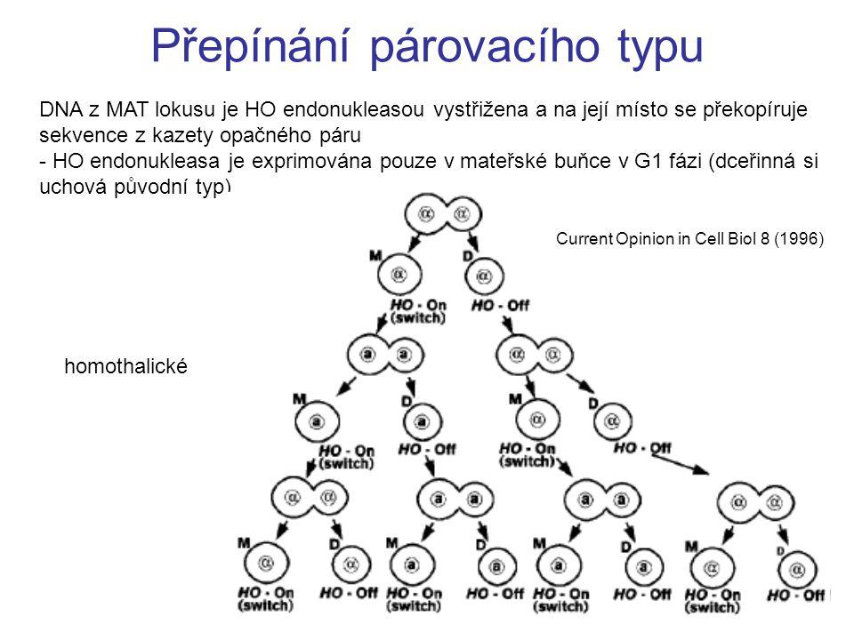 Přepínání párovacího typu DNA z MAT lokusu je HO endonukleasou vystřižena a na její místo se překopíruje sekvence z kazety opačného páru - HO endonukleasa je exprimována pouze v mateřské buňce v G1 fázi (dceřinná si uchová původní typ) Current Opinion in Cell Biol 8 (1996) homothalické