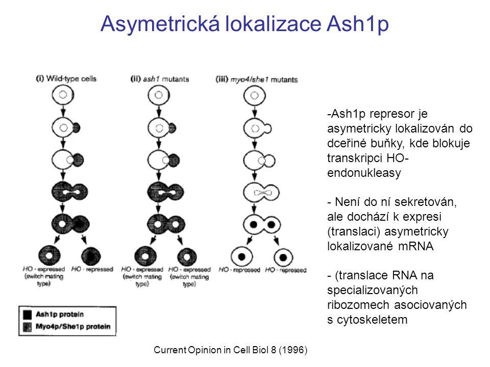 Asymetrická lokalizace Ash1p Current Opinion in Cell Biol 8 (1996) -Ash1p represor je asymetricky lokalizován do dceřiné buňky, kde blokuje transkripci HO- endonukleasy - Není do ní sekretován, ale dochází k expresi (translaci) asymetricky lokalizované mRNA - (translace RNA na specializovaných ribozomech asociovaných s cytoskeletem