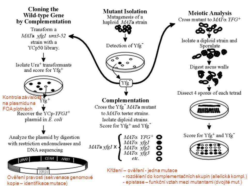 Křížení – ověření - jedna mutace - rozdělení do komplementačních skupin (allelická kompl.) - epistase – funkční vztah mezi mutantami (dvojité mut.) Kontrola závislosti na plasmidu na FOA plotnách Ověření pravosti (sekvenace genomové kopie – identifikace mutace)