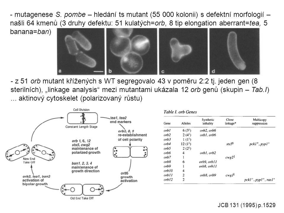 JCB 131 (1995) p.1529 - mutagenese S. pombe – hledání ts mutant (55 000 kolonii) s defektní morfologií – našli 64 kmenů (3 druhy defektu: 51 kulatých=