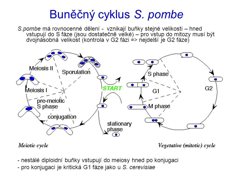 Buněčný cyklus S. pombe - nestálé diploidní buňky vstupují do meiosy hned po konjugaci - pro konjugaci je kritická G1 fáze jako u S. cerevisiae S.pomb
