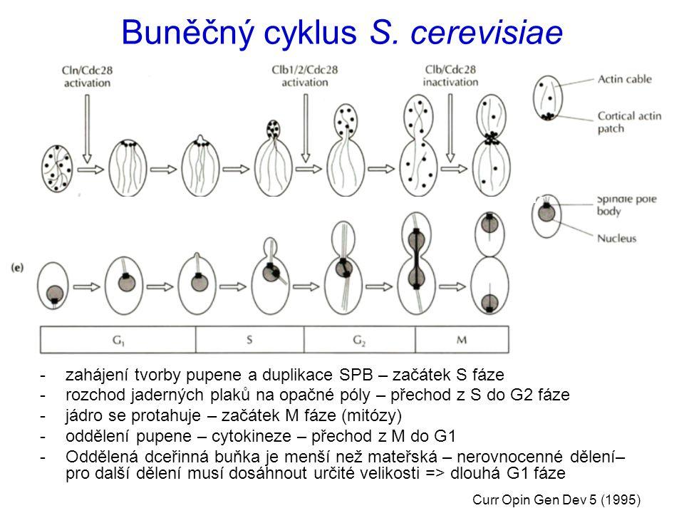 Buněčný cyklus S. cerevisiae -zahájení tvorby pupene a duplikace SPB – začátek S fáze -rozchod jaderných plaků na opačné póly – přechod z S do G2 fáze