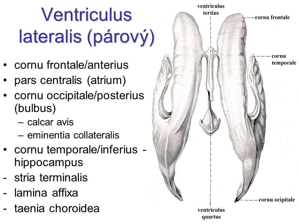 Ventriculus lateralis (párový) cornu frontale/anterius pars centralis (atrium) cornu occipitale/posterius (bulbus) –calcar avis –eminentia collateralis cornu temporale/inferius - hippocampus -stria terminalis -lamina affixa -taenia choroidea