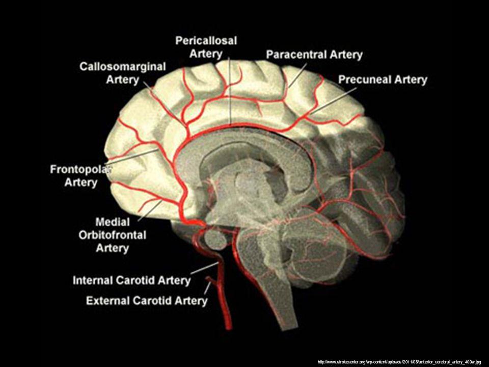 http://www.strokecenter.org/wp-content/uploads/2011/08/anterior_cerebral_artery_400w.jpg