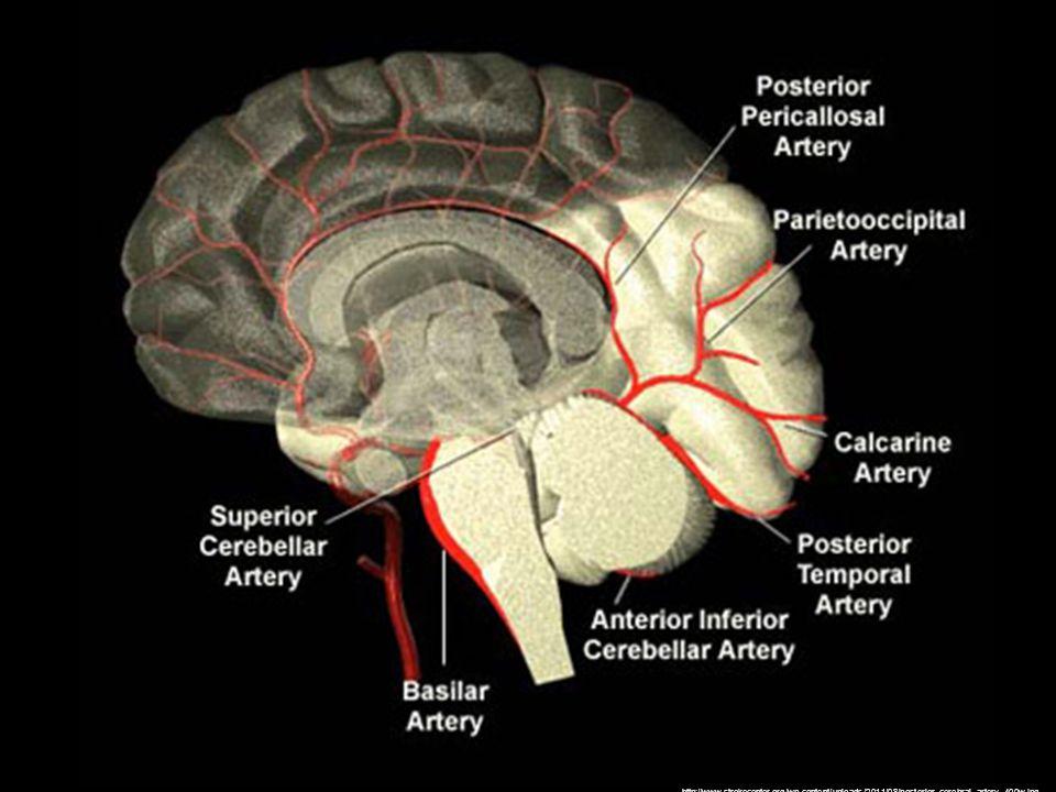 http://www.strokecenter.org/wp-content/uploads/2011/08/posterior_cerebral_artery_400w.jpg