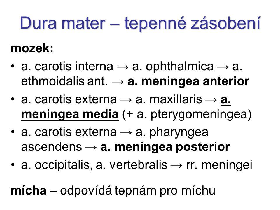 Tepny mozku circulus arteriosus Willisi a.cerebri anterior, media, posterior → korové větve a.