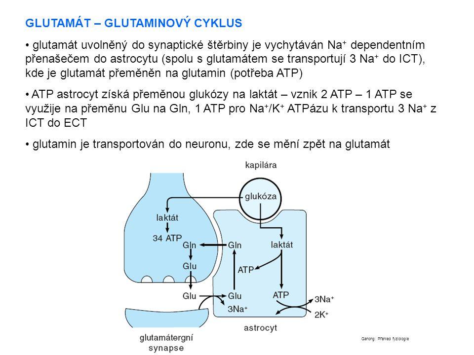 GLUTAMÁT – GLUTAMINOVÝ CYKLUS glutamát uvolněný do synaptické štěrbiny je vychytáván Na + dependentním přenašečem do astrocytu (spolu s glutamátem se