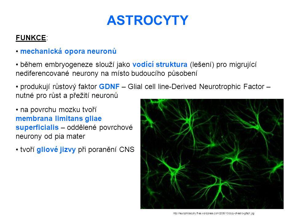 ASTROCYTY http://neurophilosophy.files.wordpress.com/2006/10/copy-of-astro-gfap1.jpg FUNKCE: mechanická opora neuronů během embryogeneze slouží jako v