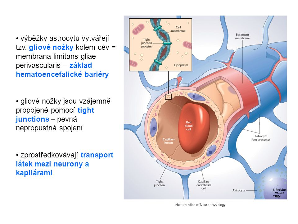 Netter's Atlas of Neurophysiology výběžky astrocytů vytvářejí tzv. gliové nožky kolem cév = membrana limitans gliae perivascularis – základ hematoence