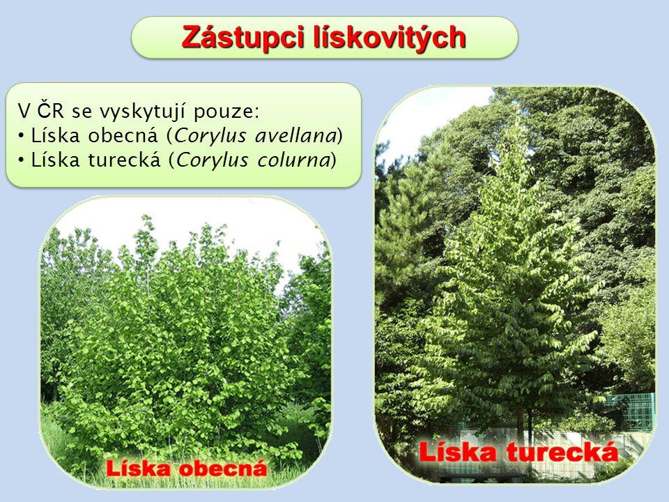 Zástupci lískovitých V Č R se vyskytují pouze: Líska obecná (Corylus avellana) Líska turecká (Corylus colurna) V Č R se vyskytují pouze: Líska obecná (Corylus avellana) Líska turecká (Corylus colurna)