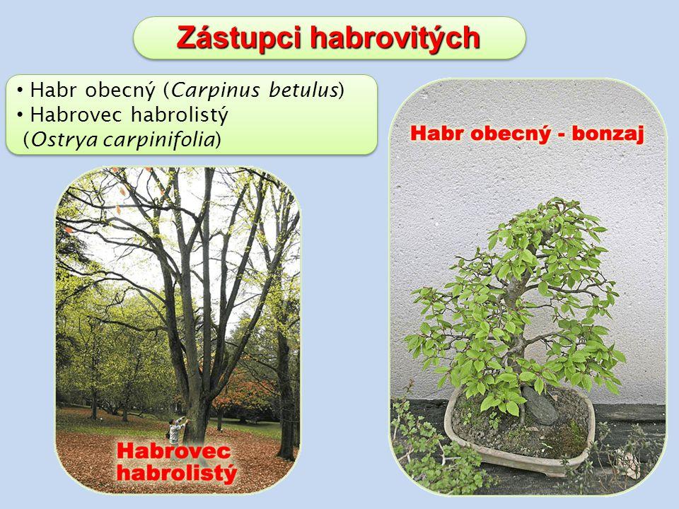 Zástupci habrovitých Habr obecný (Carpinus betulus) Habrovec habrolistý (Ostrya carpinifolia) Habr obecný (Carpinus betulus) Habrovec habrolistý (Ostrya carpinifolia)