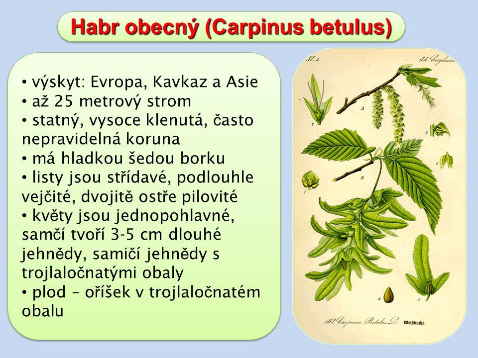 Habr obecný (Carpinus betulus) výskyt: Evropa, Kavkaz a Asie a ž 25 metrový strom statný, vysoce klenutá, č asto nepravidelná koruna má hladkou šedou borku listy jsou st ř ídavé, podlouhle vej č ité, dvojit ě ost ř e pilovité kv ě ty jsou jednopohlavné, sam č í tvo ř í 3-5 cm dlouhé jehn ě dy, sami č í jehn ě dy s trojlalo č natými obaly plod – o ř íšek v trojlalo č natém obal u výskyt: Evropa, Kavkaz a Asie a ž 25 metrový strom statný, vysoce klenutá, č asto nepravidelná koruna má hladkou šedou borku listy jsou st ř ídavé, podlouhle vej č ité, dvojit ě ost ř e pilovité kv ě ty jsou jednopohlavné, sam č í tvo ř í 3-5 cm dlouhé jehn ě dy, sami č í jehn ě dy s trojlalo č natými obaly plod – o ř íšek v trojlalo č natém obal u
