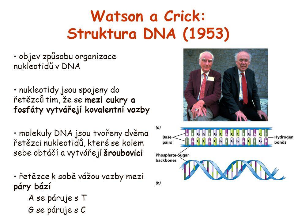 Watson a Crick: Struktura DNA (1953) objev způsobu organizace nukleotidů v DNA nukleotidy jsou spojeny do řetězců tím, že se mezi cukry a fosfáty vytv