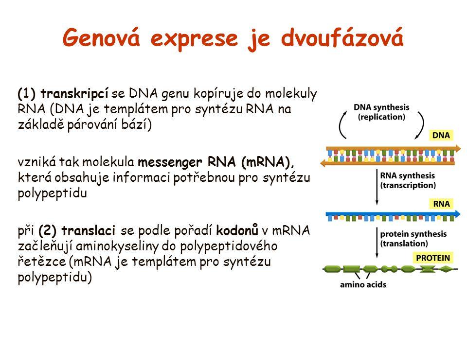 Genová exprese je dvoufázová (1) transkripcí se DNA genu kopíruje do molekuly RNA (DNA je templátem pro syntézu RNA na základě párování bází) vzniká t