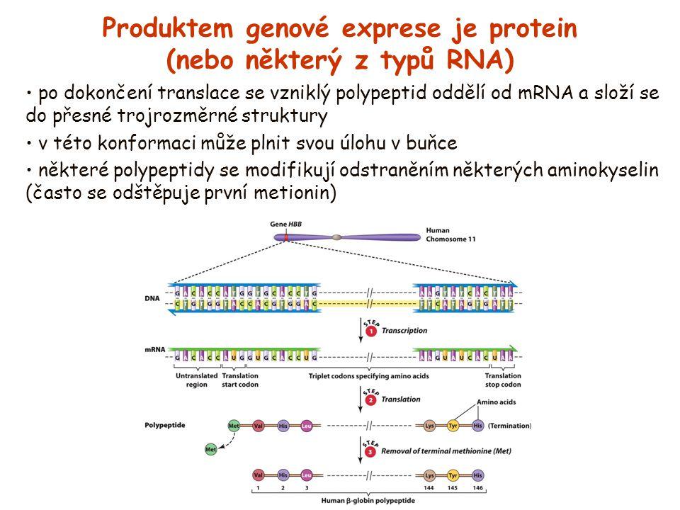 Produktem genové exprese je protein (nebo některý z typů RNA) po dokončení translace se vzniklý polypeptid oddělí od mRNA a složí se do přesné trojroz
