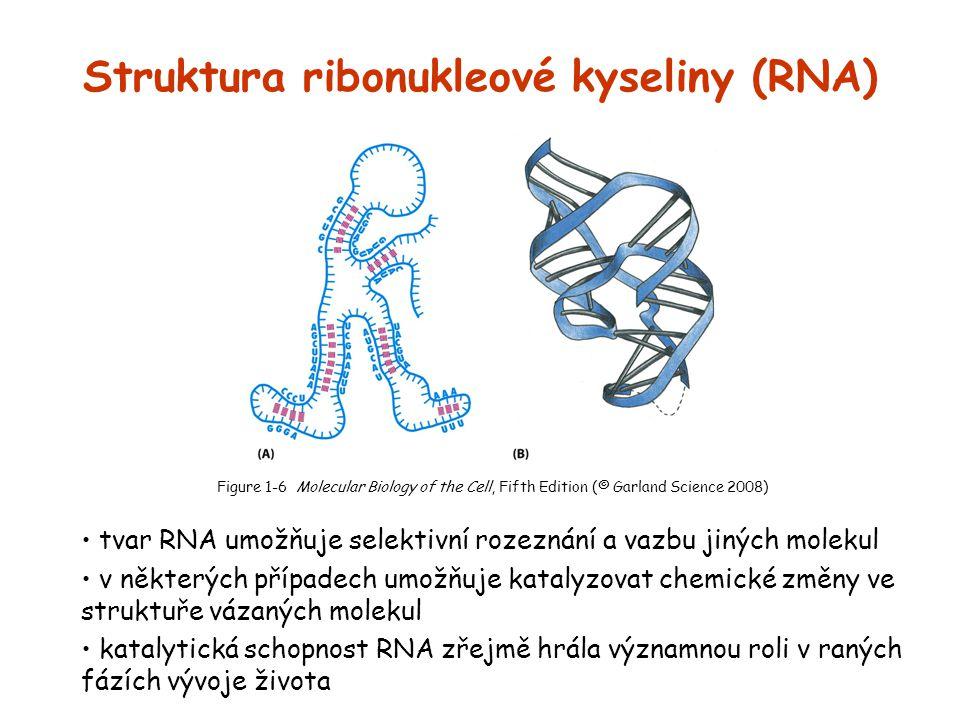 Struktura ribonukleové kyseliny (RNA) tvar RNA umožňuje selektivní rozeznání a vazbu jiných molekul v některých případech umožňuje katalyzovat chemick