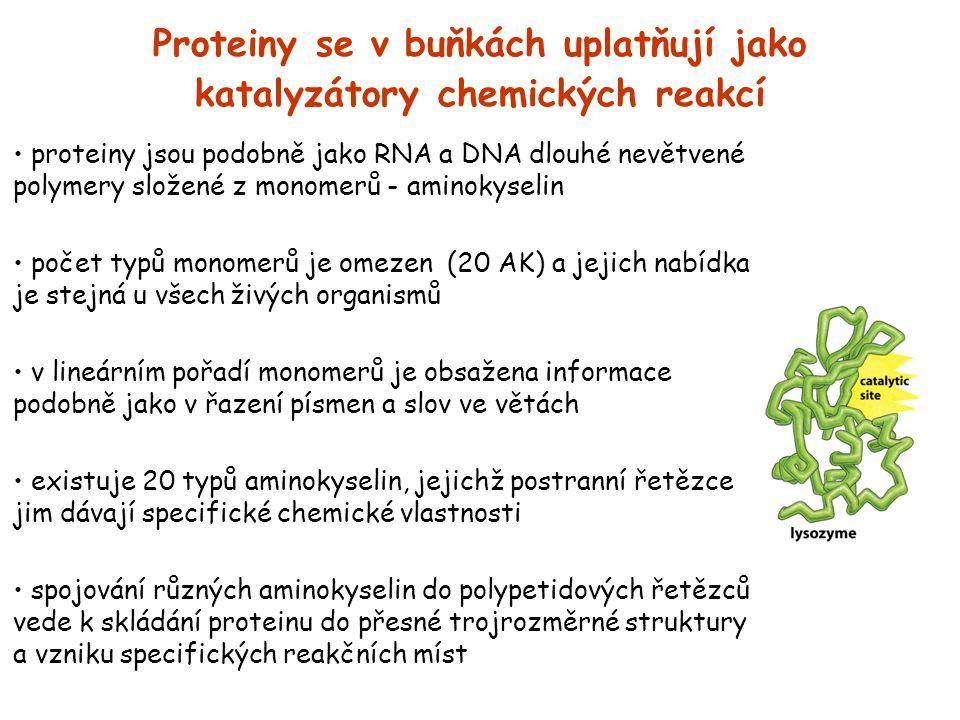 Proteiny se v buňkách uplatňují jako katalyzátory chemických reakcí proteiny jsou podobně jako RNA a DNA dlouhé nevětvené polymery složené z monomerů