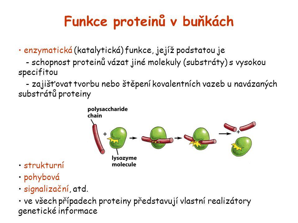 Funkce proteinů v buňkách enzymatická (katalytická) funkce, jejíž podstatou je - schopnost proteinů vázat jiné molekuly (substráty) s vysokou specifit