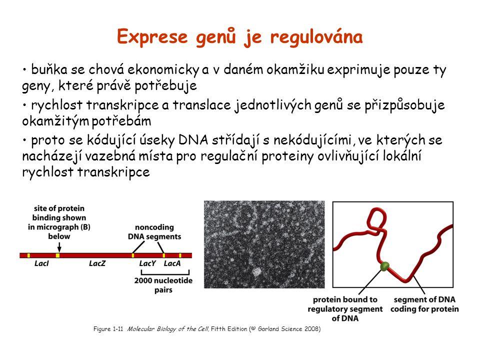 Exprese genů je regulována buňka se chová ekonomicky a v daném okamžiku exprimuje pouze ty geny, které právě potřebuje rychlost transkripce a translac
