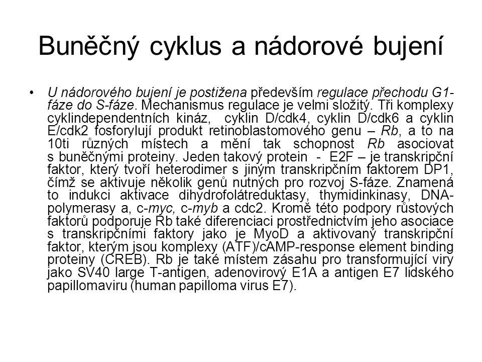 Buněčný cyklus a nádorové bujení U nádorového bujení je postižena především regulace přechodu G1- fáze do S-fáze. Mechanismus regulace je velmi složit