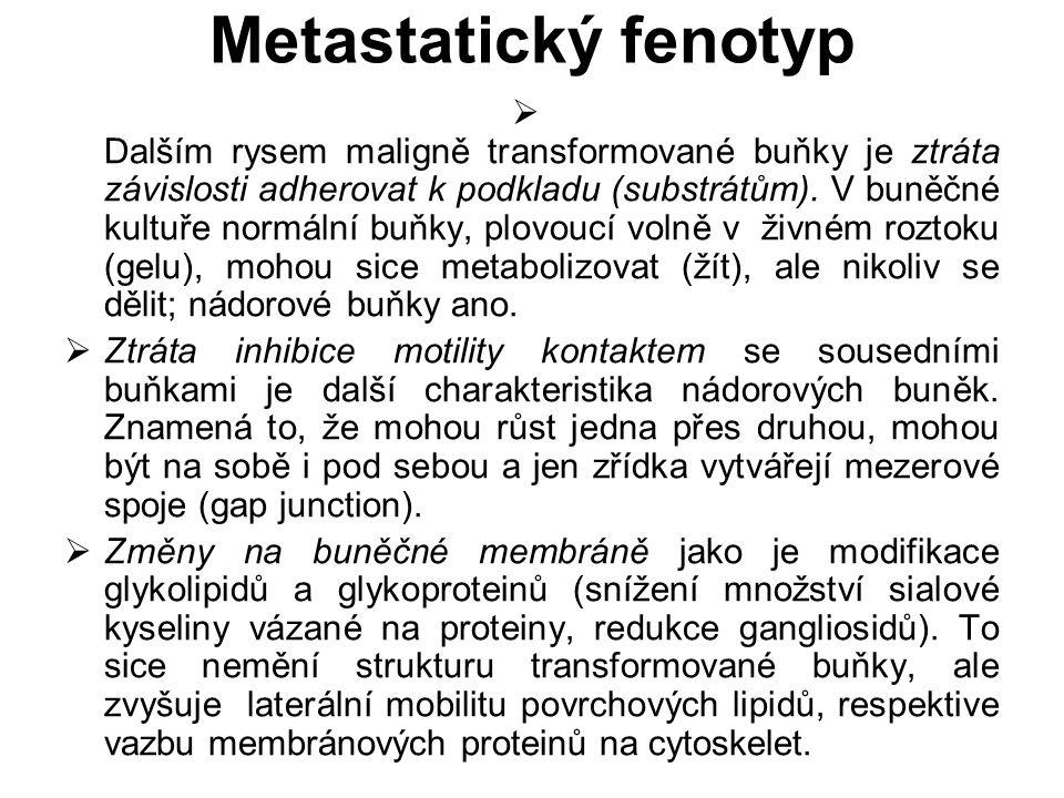 Metastatický fenotyp  Dalším rysem maligně transformované buňky je ztráta závislosti adherovat k podkladu (substrátům). V buněčné kultuře normální bu