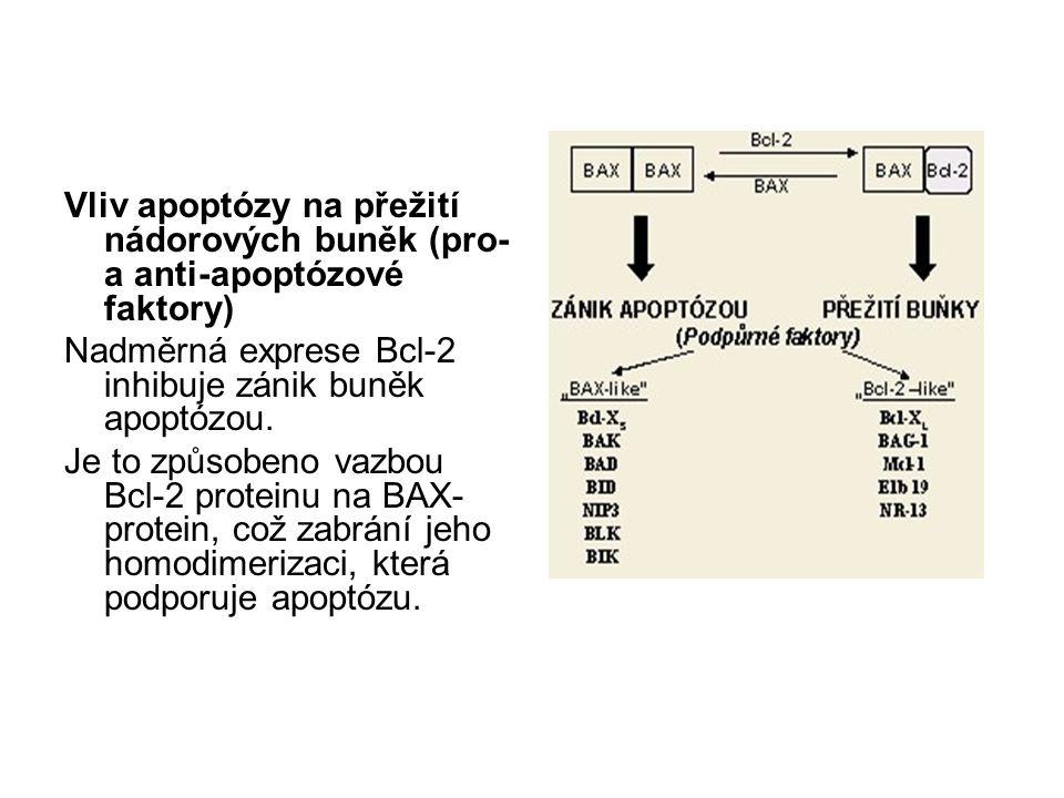 Vliv apoptózy na přežití nádorových buněk (pro- a anti-apoptózové faktory) Nadměrná exprese Bcl-2 inhibuje zánik buněk apoptózou. Je to způsobeno vazb