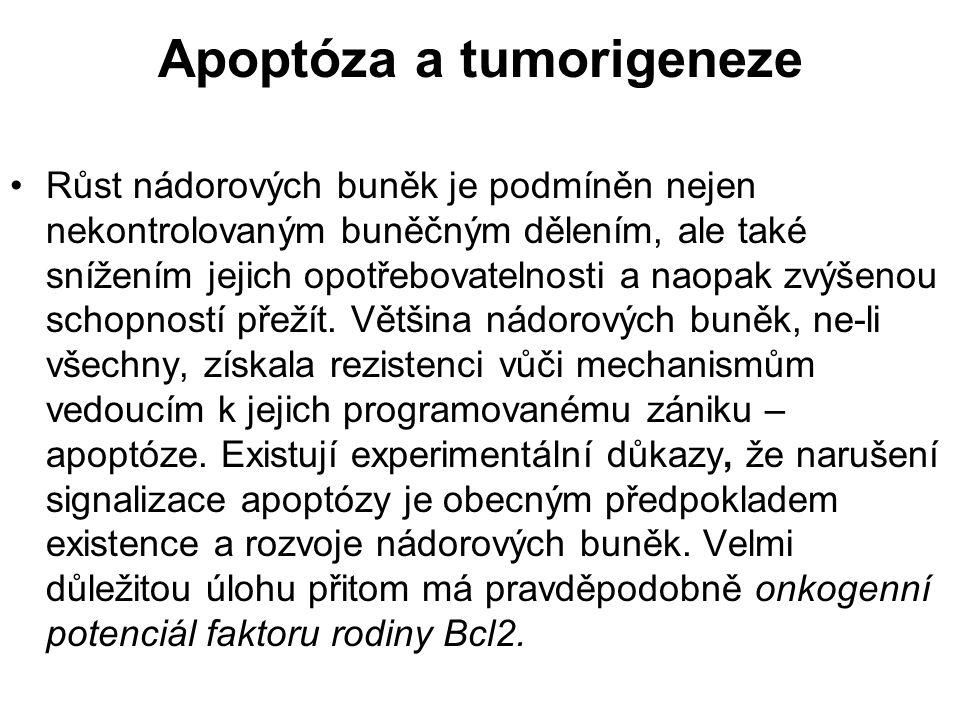 Apoptóza a tumorigeneze Růst nádorových buněk je podmíněn nejen nekontrolovaným buněčným dělením, ale také snížením jejich opotřebovatelnosti a naopak
