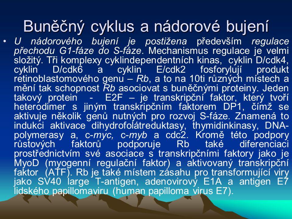 Buněčný cyklus a nádorové bujení U nádorového bujení je postižena především regulace přechodu G1-fáze do S-fáze. Mechanismus regulace je velmi složitý