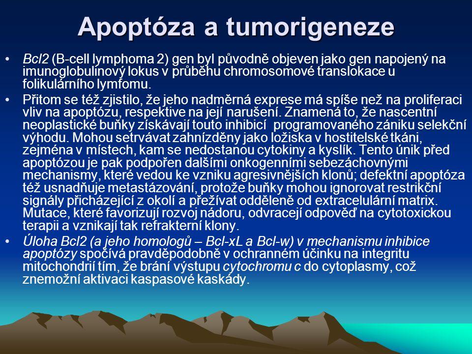 Apoptóza a tumorigeneze Bcl2 (B-cell lymphoma 2) gen byl původně objeven jako gen napojený na imunoglobulinový lokus v průběhu chromosomové translokac