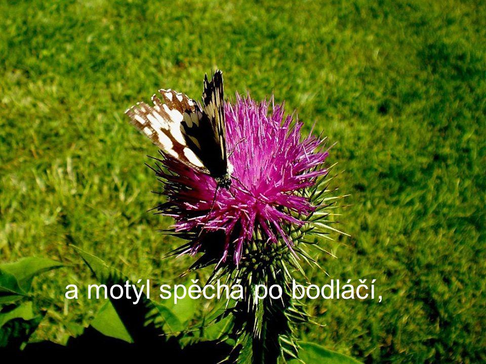 a motýl spěchá po bodláčí,