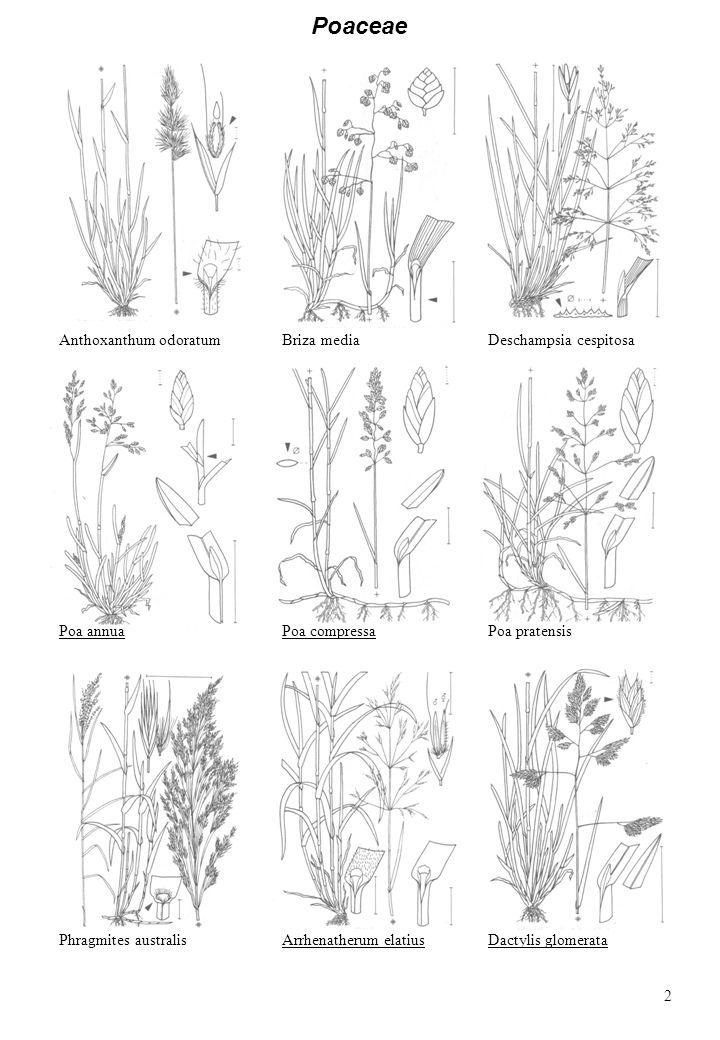 Poaceae Anthoxanthum odoratumBriza mediaDeschampsia cespitosa Poa annuaPoa pratensis Phragmites australisArrhenatherum elatiusDactylis glomerata Poa c